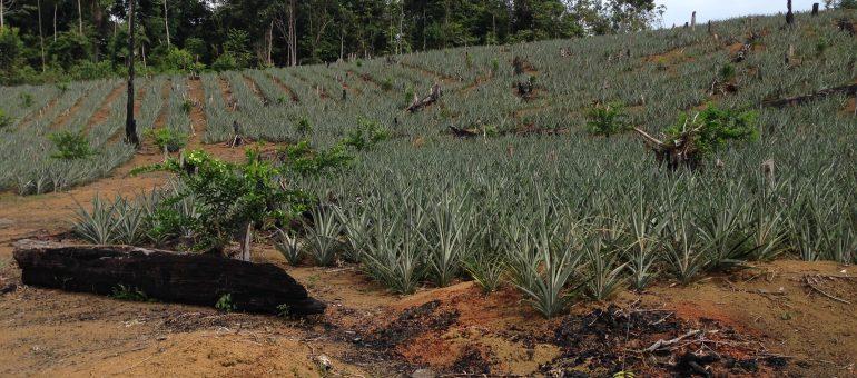 L'agriculture Hmong en Guyane